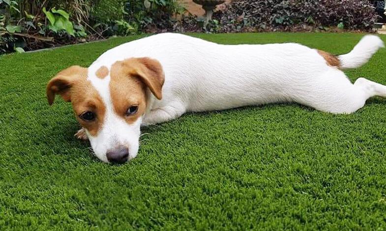 Artificial Grass Dog Resting Easigrass Umhlanga